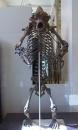 Ursus Spelaeus (Cave Bear) Fossil
