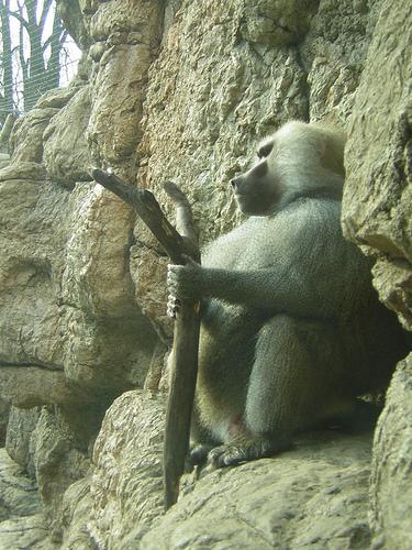 Babbuino sorveglia il Parco - Prospect Park Zoo