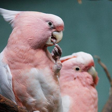 Pappagalli rosa al Prospect Park Zoo