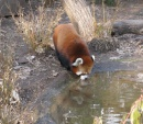 Panda rosso al Prospect Park Zoo