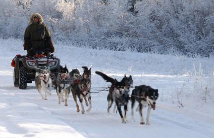 Cani da slitta vengono addestrati per la gara