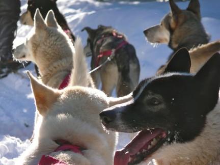 I cani da slitta pronti a partire