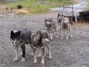 Alaska una breve pausa dopo una lunga corsa nella Iditarod Trail Dog Sled Race