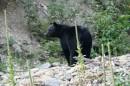 American Black Bear - Ursus americanus - Glacier National Park