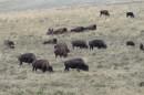 Bisonti nel Nationale Bison Range