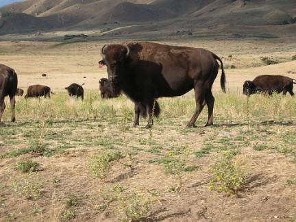 Antelope Island - Bisonti