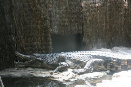 Bronx Zoo Coccodrillo