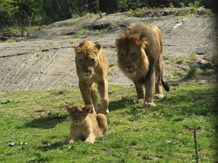 Bronx Zoo La famiglia del Leone