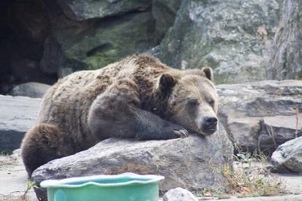 Bronx Zoo orso che dorme
