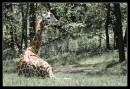Bronx Zoo Giraffa