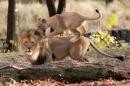 Bronx Zoo Il piccolo gioca con papa' Leone