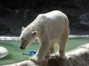 Bronx Zoo orso polare