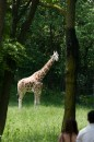 Giraffa al Bronx Zoo