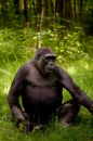 Gorilla al Bronx Zoo