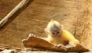 Una piccola scimmia al Bronx Zoo