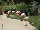 Fenicotteri al San Diego Zoo