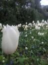 Golden Gate Park - Tulipani nei giardini