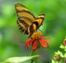 Immagine di una farfalla nella California Academy of Sciences
