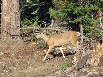 Sequoia National Park - Cervo Mulo