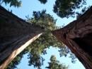 Cime di sequoie