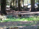 Sequoia National Park - Orso