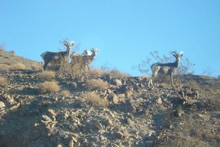 Desert Bighorn Sheep e la sua fauna