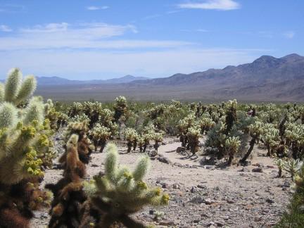 Una distesa di Cactus