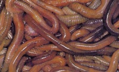 Targhe da vermi per cuccioli di Reparto azineconstruction