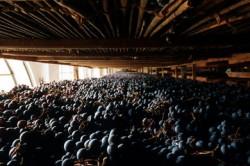 Appassimento delle uve di Amarone