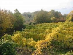 Vigne in Valpolicella