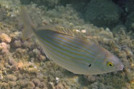 La sarpa salpa delle praterie di posidonia del mediterraneo for Un pesce allevato in acque stagnanti