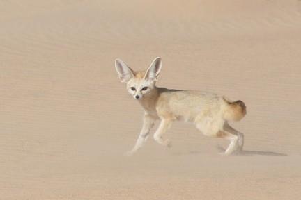 Cane o volpe un simpatico folletto del deserto for Dove vive la volpe