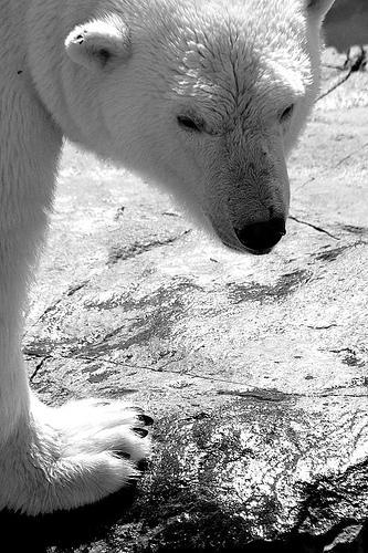 la vita dell'orso bianco