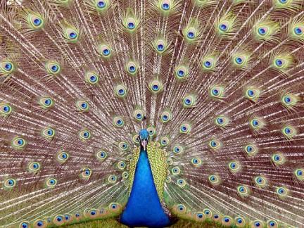 Pavo cristatus il pavone bl - Pagina colorazione pavone ...