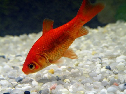 pesci rossi la prima volta acquaportal forum acquario